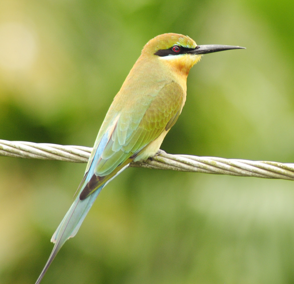 Blue Tailed Bee Eater Migration Blue-tailed Bee Eater