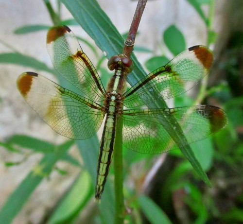 pied paddy skimmer female.jpg