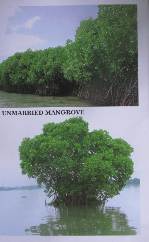 unmarried mangroves.jpg